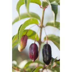 Fuchsia regia Bio