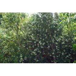 Myrte Luma Apiculata