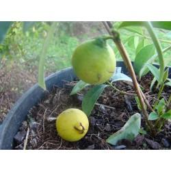 Goyavier fraise à fruits jaunes Bio