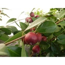 Goyavier de Chine à fruits rouges