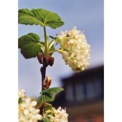 Ribes glutinosum Bio