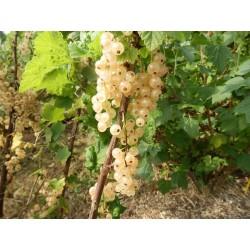 Groseillier à grappes Cerise Blanche Bio