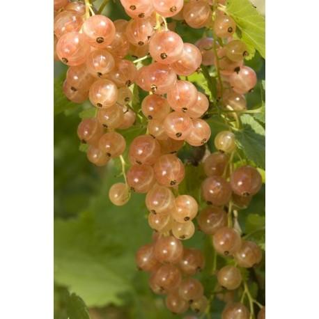 Groseillier à grappes Rose de Champagne Bio