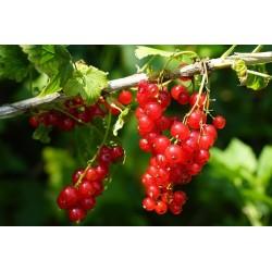 Groseillier à grappes Versaillaise Rouge Bio