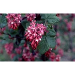 Ribes sanguineum Imperator Bio