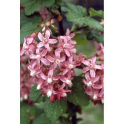Ribes sanguineum Rose des vents Bio