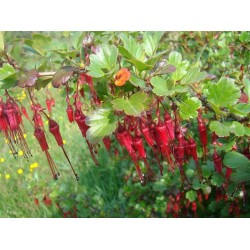 Ribes speciosum Bio