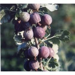Groseillier à maquereau captivator Bio