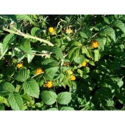 Rubus cockburnianus Bio