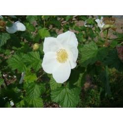 Rubus deliciosus