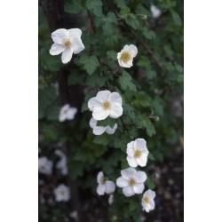 Rubus deliciosus Bio