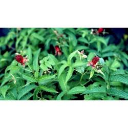 Framboisier fraise