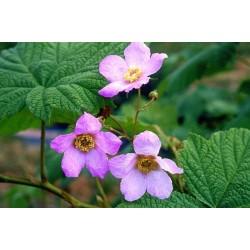 Rubus odoratus Bio