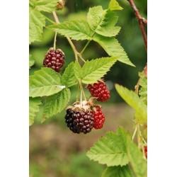 Mûre framboise Loganberry