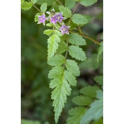 Rubus Thibetanus Bio