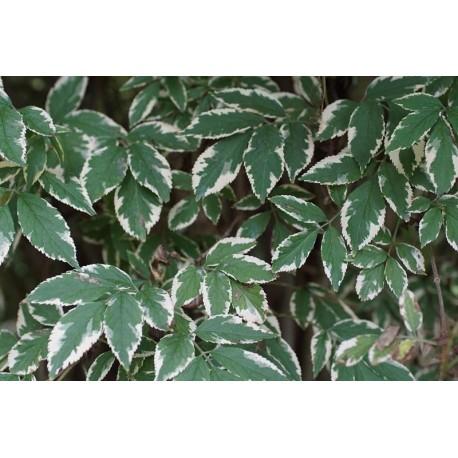 Sureau Albo variegata Bio