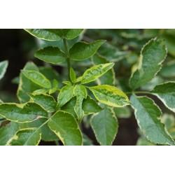 Sureau Aureo variegata Bio