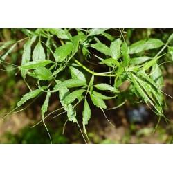 Sureau Heterophylla, Linearis Bio
