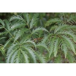 Sureau Plumosa viridis Bio