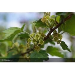 Ribes fasciculatum mâle Bio