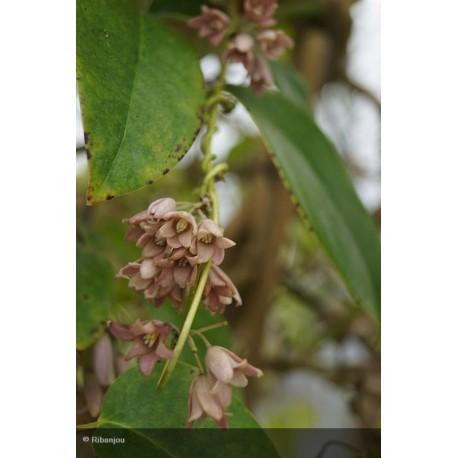 HOLBOELIA latifolia Bio