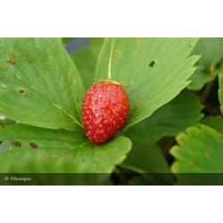 Fraisier Rubis des Jardins Bio