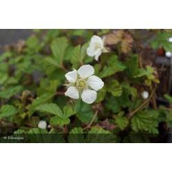 Rubus tricolor Mycrophylla Bio
