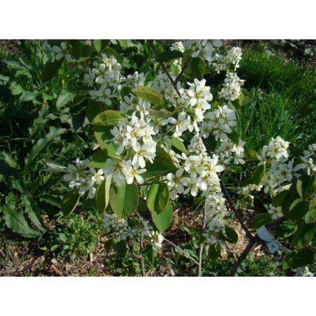 Amélanchier viridifolia Bio