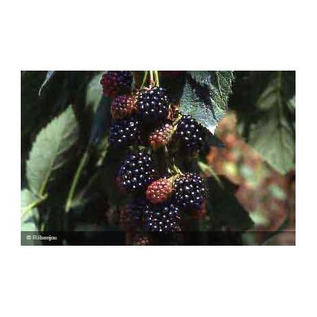 Mûre Thornless Evergreen Bio
