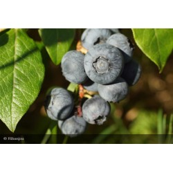 Myrtillier Bluecrop Bio