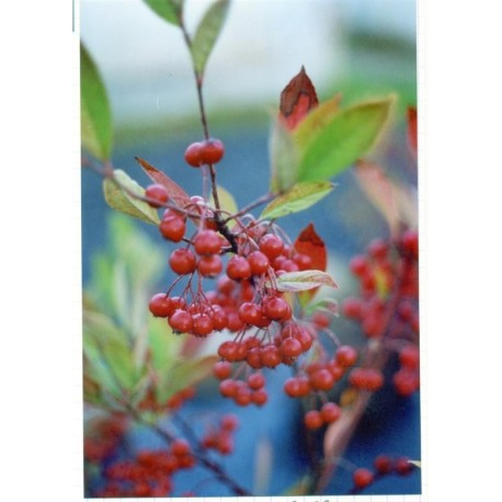 Aronia à fruits rouges Bio